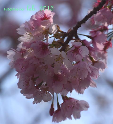 3月23日大寒桜4