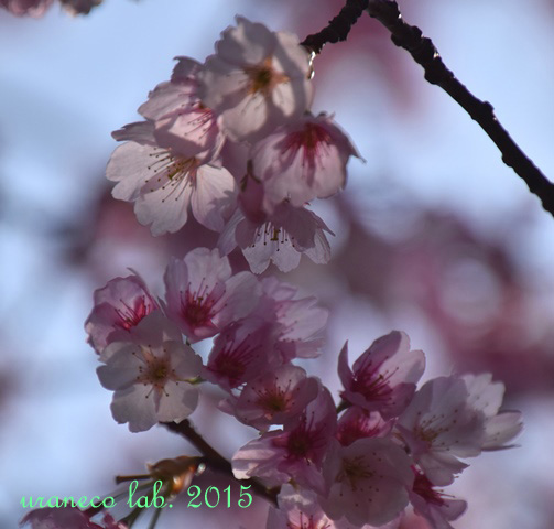 3月23日大寒桜3