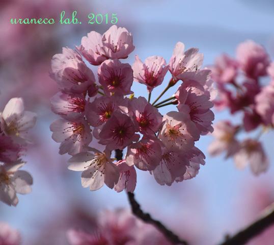 3月23日大寒桜2