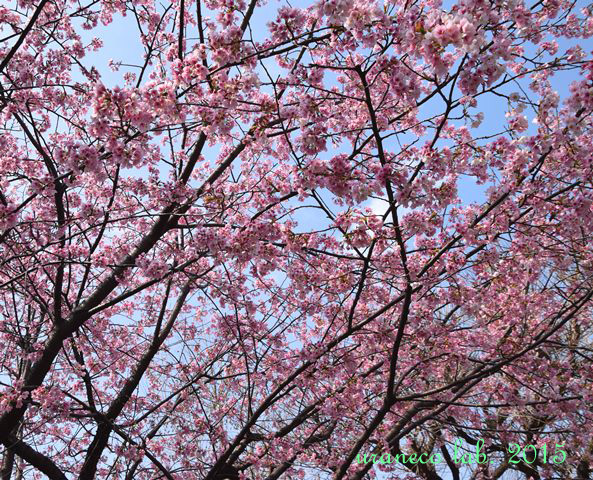 3月23日大寒桜