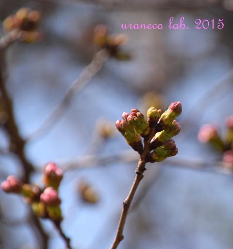 3月23日桜つぼみ2