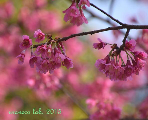 3月23日緋寒桜2