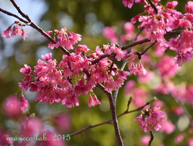 3月23日緋寒桜