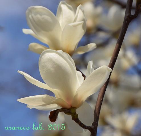 3月25日白木蓮3