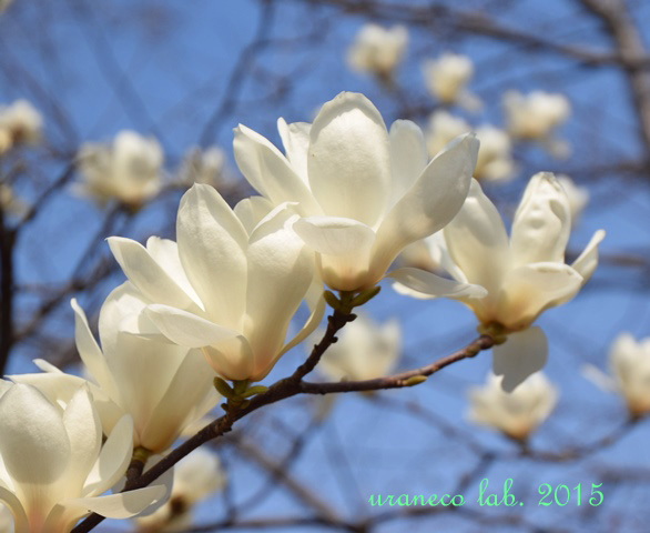3月25日白木蓮2