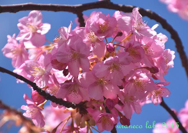 3月20日河津桜春麗