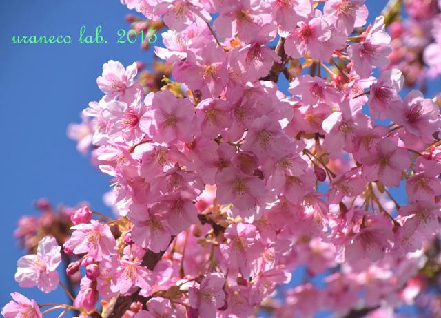 3月20日河津桜7