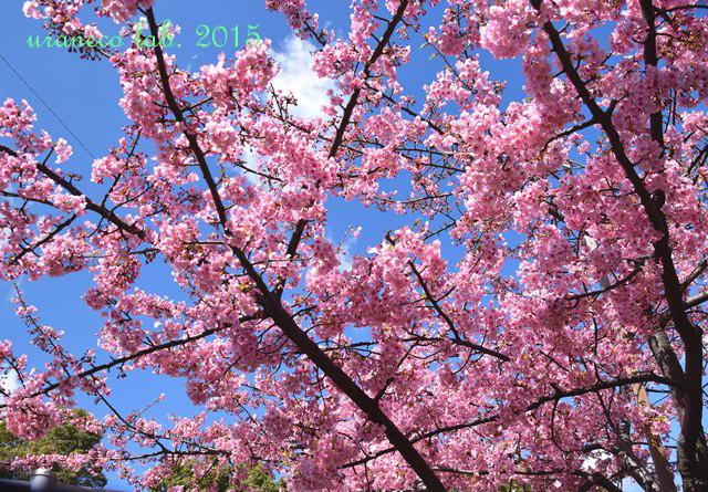 3月20日河津桜遠景