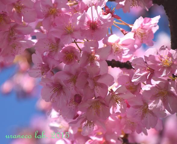 3月20日河津桜9
