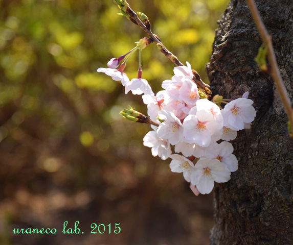 3月30日桜