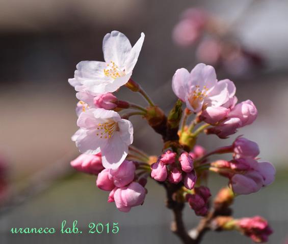 3月30日桜2