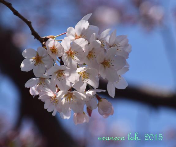 3月30日桜3
