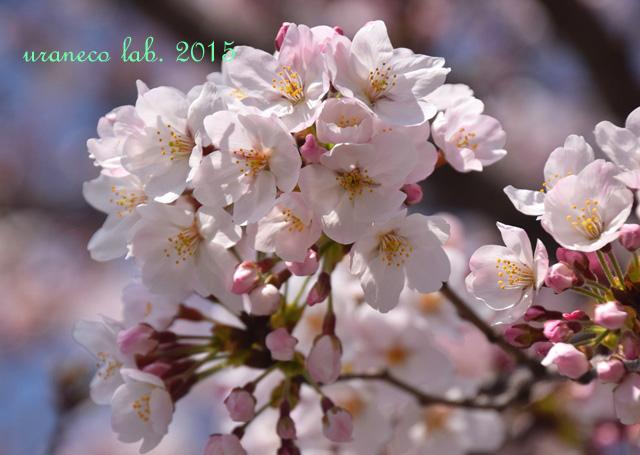 3月30日桜4