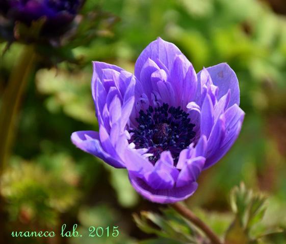 3月27日アネモネ紫
