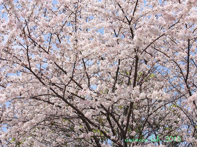3月31日桜陽光6
