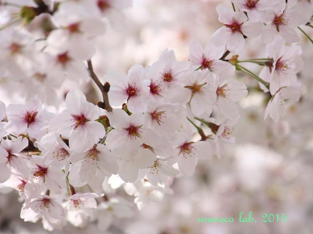 3月31日桜陽光8