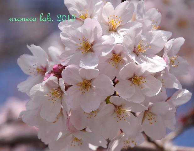 4月1日桜5
