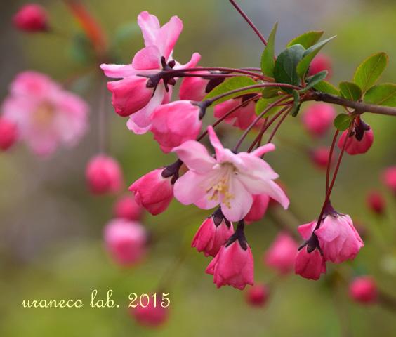 4月2日花海棠
