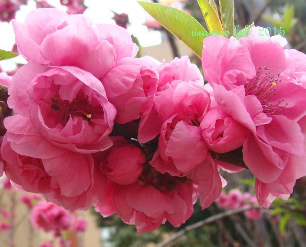 3月31日花桃