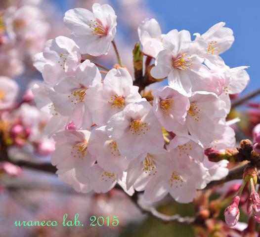 4月1日桜3