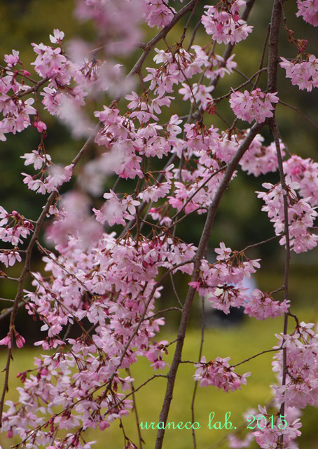 4月3日枝垂れ桜5