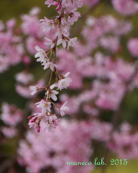 4月3日枝垂れ桜4
