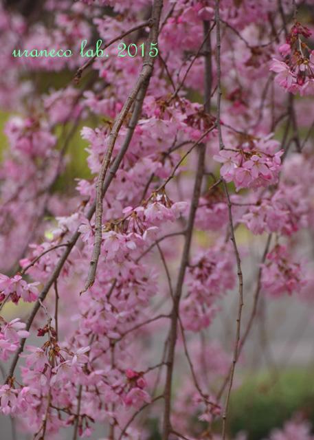 4月3日枝垂れ桜3