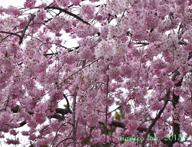 4月3日枝垂れ桜