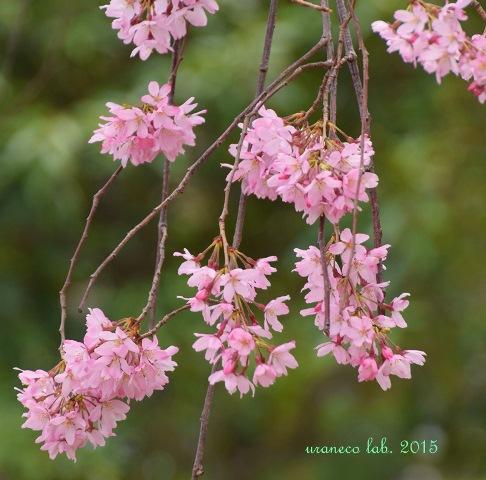 4月3日枝垂れ桜2