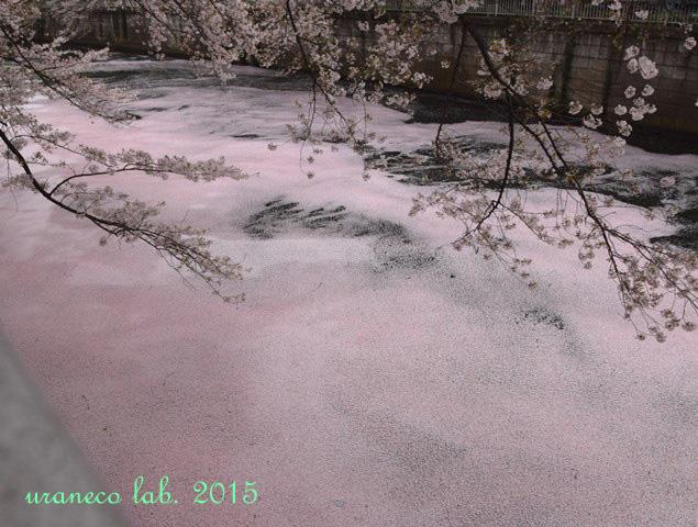 4月6日ピンク色の川7