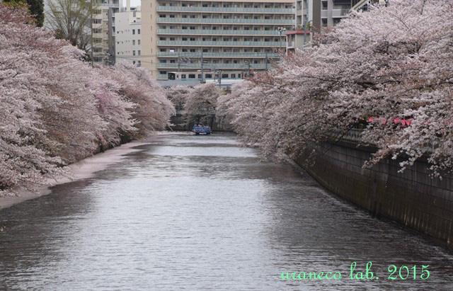 4月6日ピンク色の川