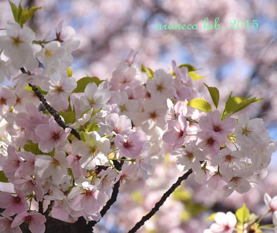 4月4日大島桜