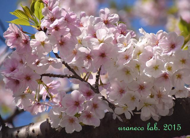 4月4日大島桜2
