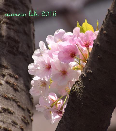 4月4日大島桜4