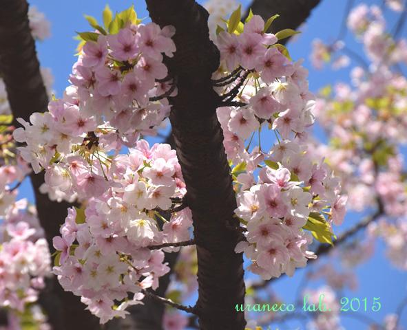 4月4日大島桜7