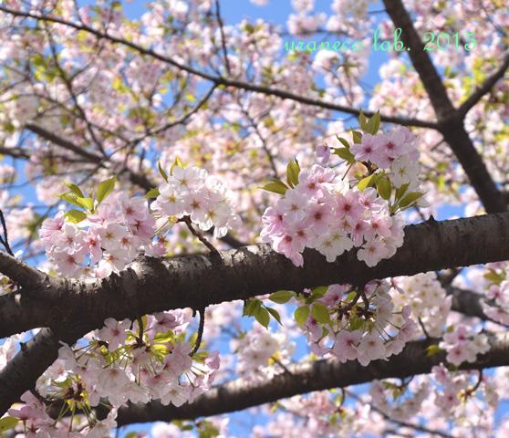 4月4日大島桜8