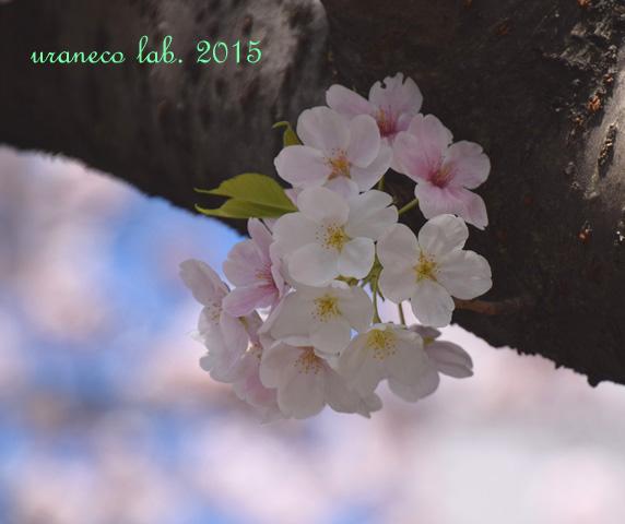 4月4日大島桜9
