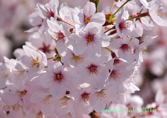 4月8日桜
