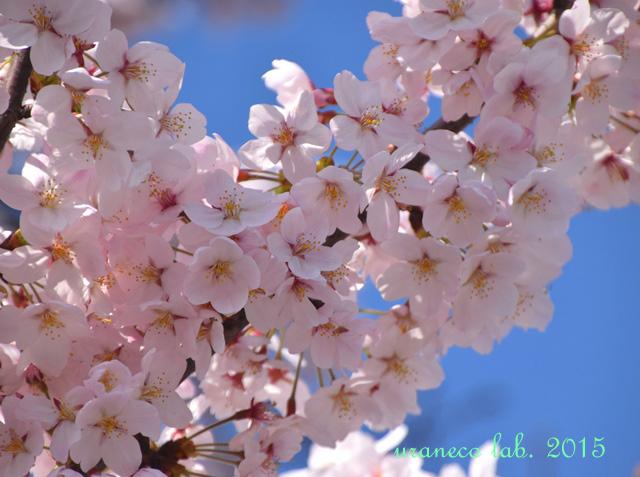 4月8日桜5