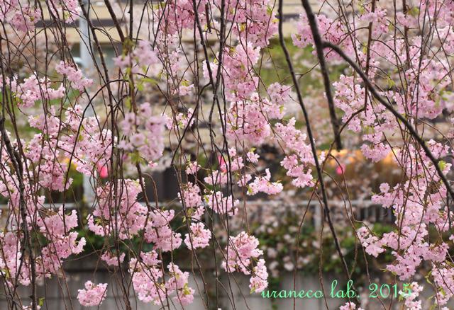 4月7日枝垂桜