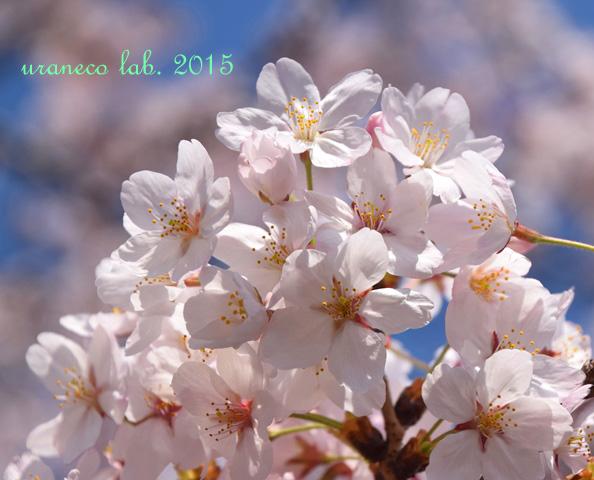 4月8日桜9