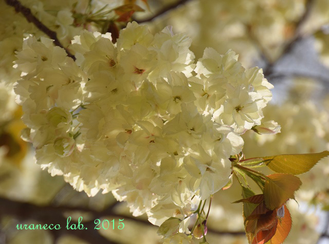 4月13日鬱金桜3