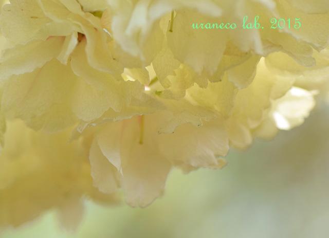 4月13日鬱金桜
