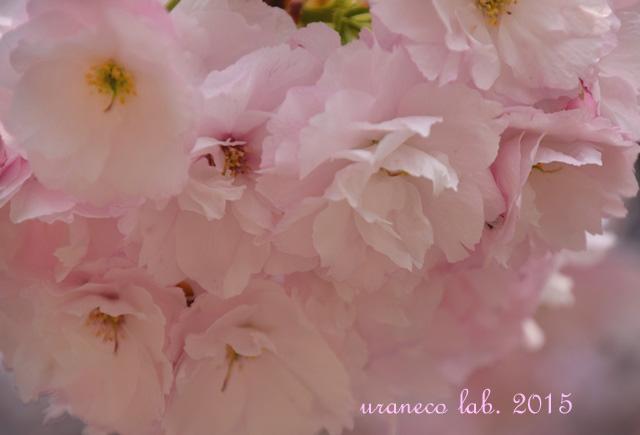 4月14日淡桃色