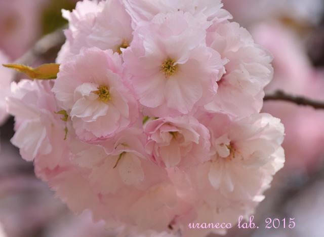 4月14日淡桃色3