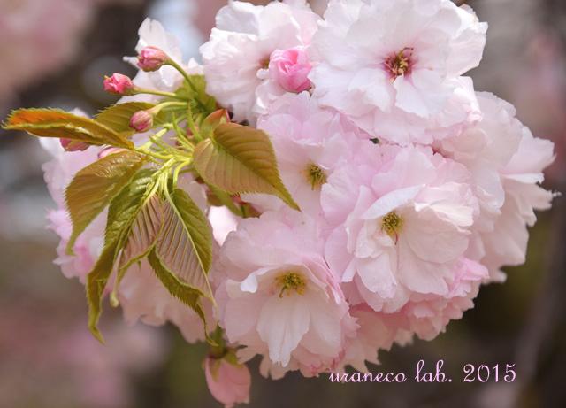 4月14日淡桃色4