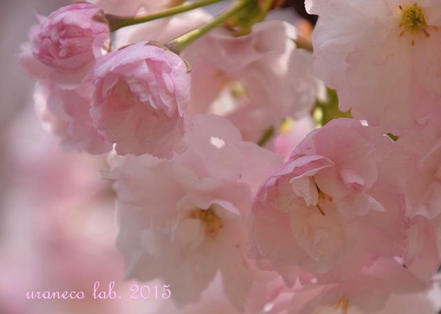 4月14日淡桃色5