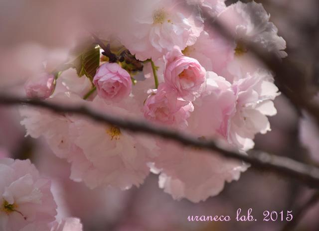 4月14日淡桃色6