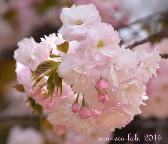 4月14日淡桃色8