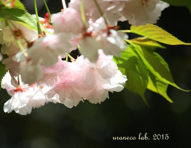 4月15日八重桜幽玄